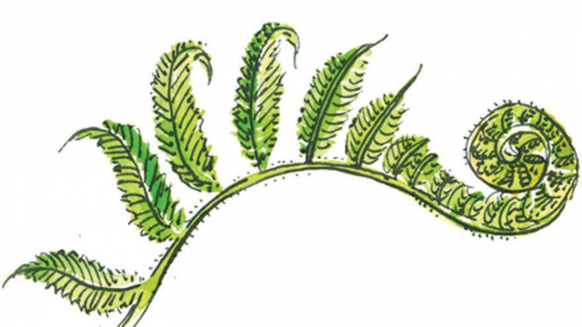 FERN FIDDLEHEAD illustration