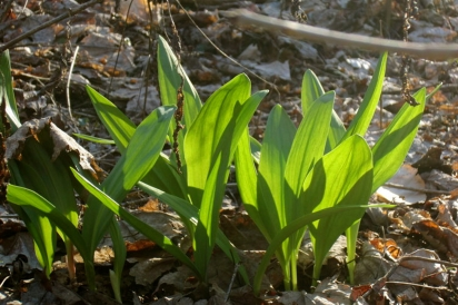 forest farmed ramps in Meigs County, Ohio