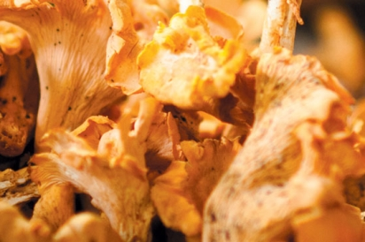 wild harvest of chanterelle mushrooms, gathered in the forest near Athens