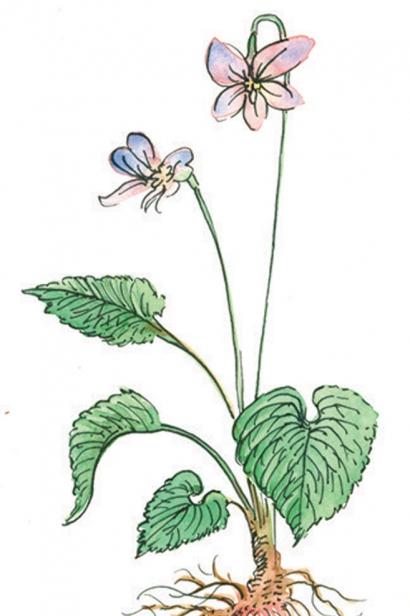WOOD VIOLET illustration