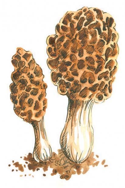 MOREL MUSHROOMS illustration