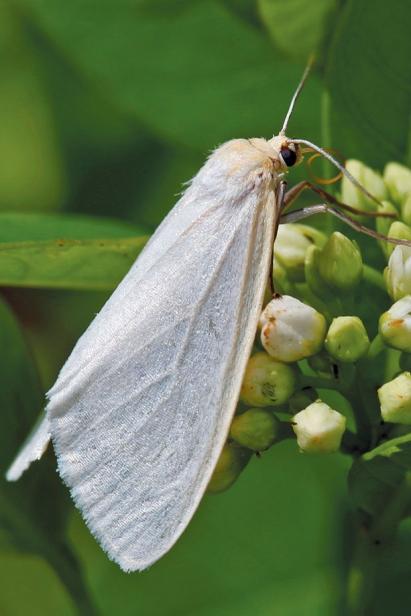 Dogbane tiger moth nectaring on dogbane flowers