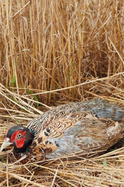 wild pheasant nesting at Cherrybend Pheasant Farm