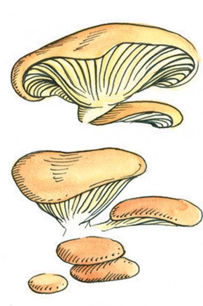 oyster mushroom illustration