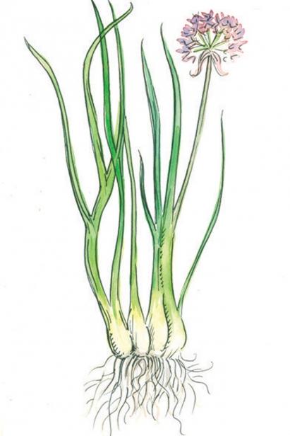 wild onion illustration