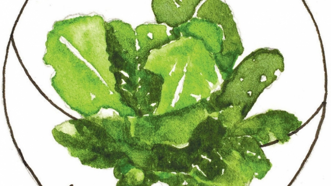 lettuce illustration