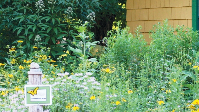 common milkweed plant