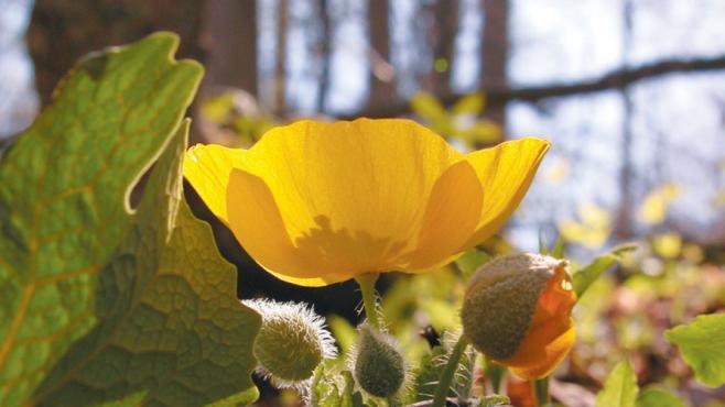 Celandine Poppy (Stylophorum diphyllum)
