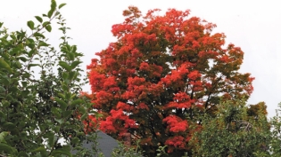 bright red fall tree